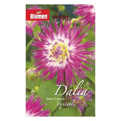 Bulbo fiore veritable viola/bianco confezione da 6