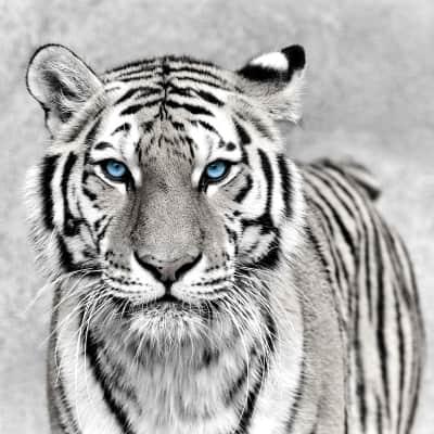 Quadro in vetro Tigre 45x45 cm
